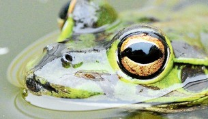 Pond dwellers: Numerous healthy frogs reflect a healthy environment and it is easy to provide them with a backyard home. Picture: Wendy Eiby