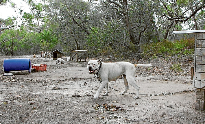 Unchained: Vets are checking the health of unregistered dogs being kept on a property at Blind Bight after they were seized by Casey Council. Picture: Oscars Law
